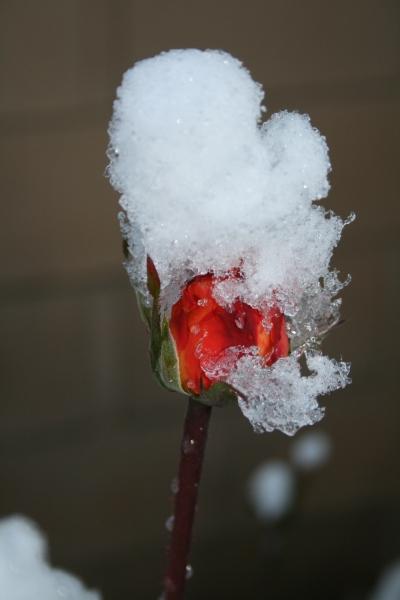 Rose Snow Cone