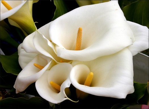Calla Lilies White