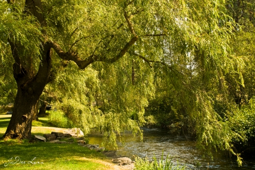 willow tree by river