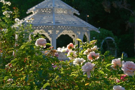 Orcutt Ranch Gazebo and Roses