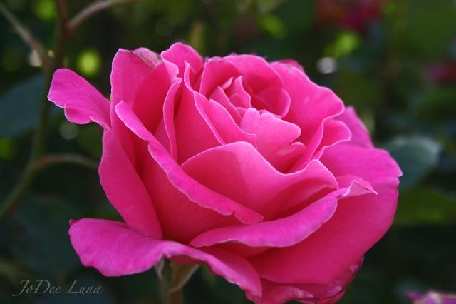Etherial Rose by JoDee Luna